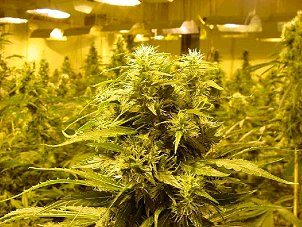 Jewett City, Norwich, CT. Marijuana Grow Room Insurance